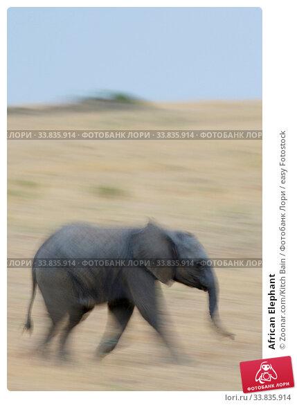 Купить «African Elephant», фото № 33835914, снято 1 июня 2020 г. (c) easy Fotostock / Фотобанк Лори