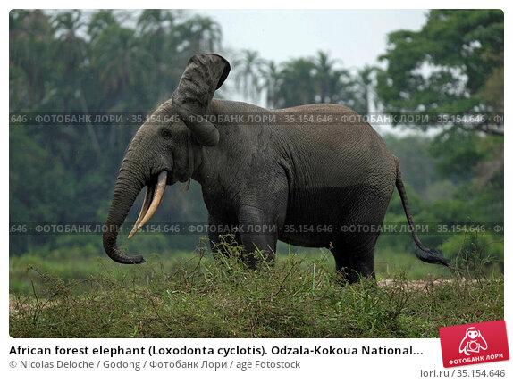 African forest elephant (Loxodonta cyclotis). Odzala-Kokoua National... Стоковое фото, фотограф Nicolas Deloche / Godong / age Fotostock / Фотобанк Лори