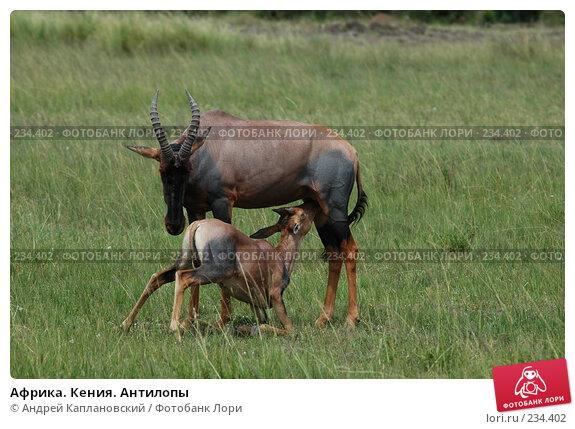 Купить «Африка. Кения. Антилопы», фото № 234402, снято 13 февраля 2005 г. (c) Андрей Каплановский / Фотобанк Лори