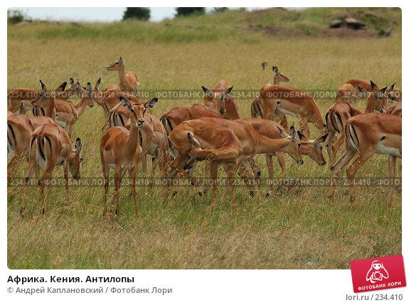 Купить «Африка. Кения. Антилопы», фото № 234410, снято 13 февраля 2005 г. (c) Андрей Каплановский / Фотобанк Лори