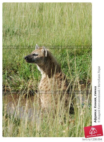 Купить «Африка: Кения, гиена», фото № 238094, снято 15 февраля 2005 г. (c) Андрей Каплановский / Фотобанк Лори