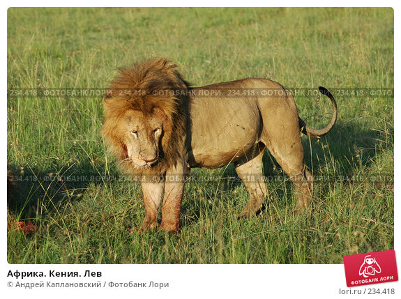 Африка. Кения. Лев, фото № 234418, снято 14 февраля 2005 г. (c) Андрей Каплановский / Фотобанк Лори