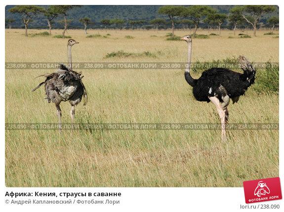 Африка: Кения, страусы в саванне, фото № 238090, снято 15 февраля 2005 г. (c) Андрей Каплановский / Фотобанк Лори