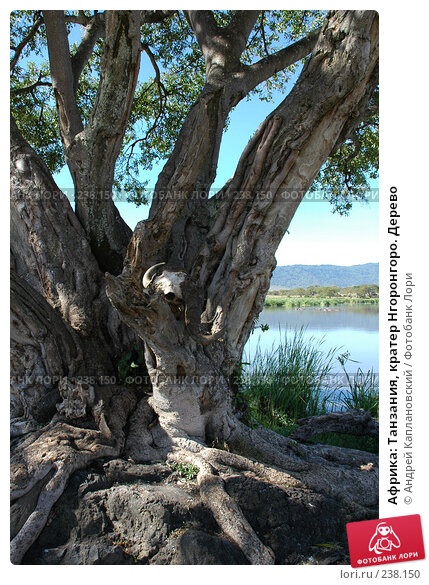 Африка: Танзания, кратер Нгоронгоро. Дерево, фото № 238150, снято 18 февраля 2005 г. (c) Андрей Каплановский / Фотобанк Лори