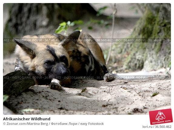 Afrikanischer Wildhund. Стоковое фото, фотограф Zoonar.com/Martina Berg / easy Fotostock / Фотобанк Лори