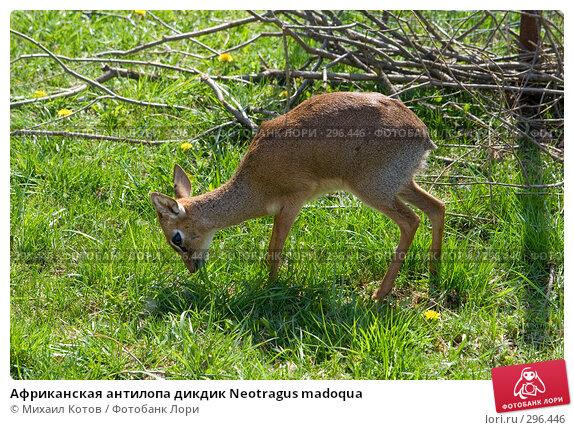 Африканская антилопа дикдик Neotragus madoqua, фото № 296446, снято 13 мая 2008 г. (c) Михаил Котов / Фотобанк Лори