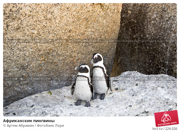 Африканские пингвины, фото № 224026, снято 2 февраля 2008 г. (c) Артем Абрамян / Фотобанк Лори