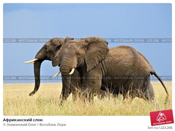 Купить «Африканский слон», фото № 223206, снято 22 января 2008 г. (c) Знаменский Олег / Фотобанк Лори