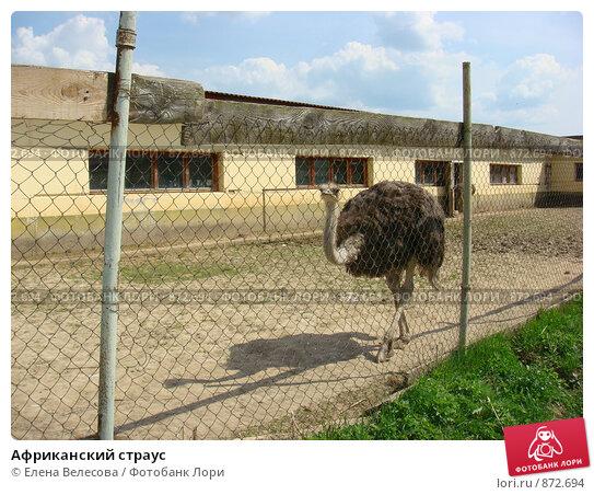Купить «Африканский страус», фото № 872694, снято 11 мая 2009 г. (c) Елена Велесова / Фотобанк Лори
