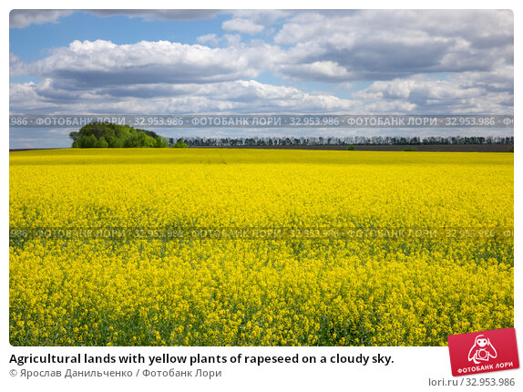 Agricultural lands with yellow plants of rapeseed on a cloudy sky. Стоковое фото, фотограф Ярослав Данильченко / Фотобанк Лори