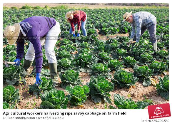 Agricultural workers harvesting ripe savoy cabbage on farm field. Стоковое фото, фотограф Яков Филимонов / Фотобанк Лори