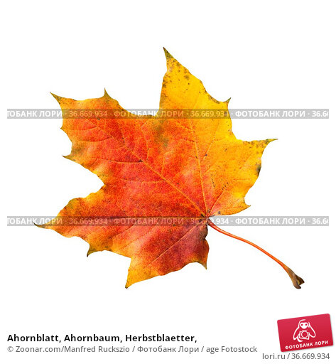Ahornblatt, Ahornbaum, Herbstblaetter, Стоковое фото, фотограф Zoonar.com/Manfred Ruckszio / age Fotostock / Фотобанк Лори