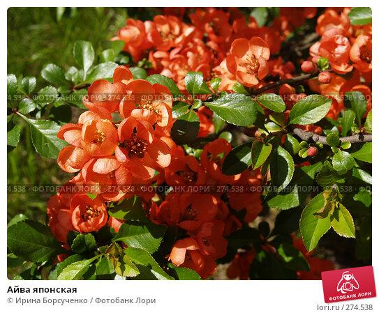 Купить «Айва японская», фото № 274538, снято 6 мая 2008 г. (c) Ирина Борсученко / Фотобанк Лори