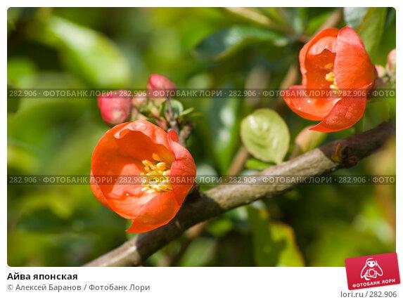 Купить «Айва японская», фото № 282906, снято 11 мая 2008 г. (c) Алексей Баранов / Фотобанк Лори