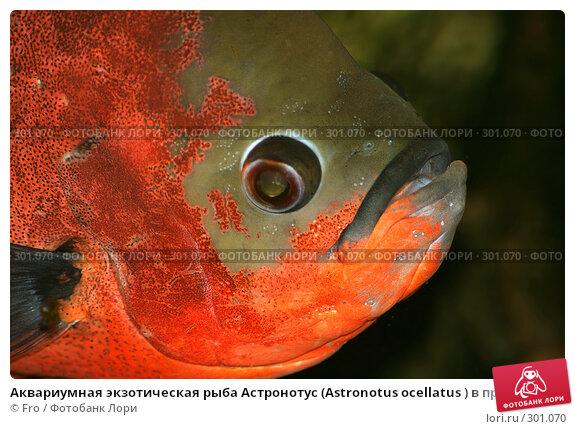 Аквариумная экзотическая рыба Астронотус (Astronotus ocellatus ) в профиль, фото № 301070, снято 15 сентября 2007 г. (c) Fro / Фотобанк Лори