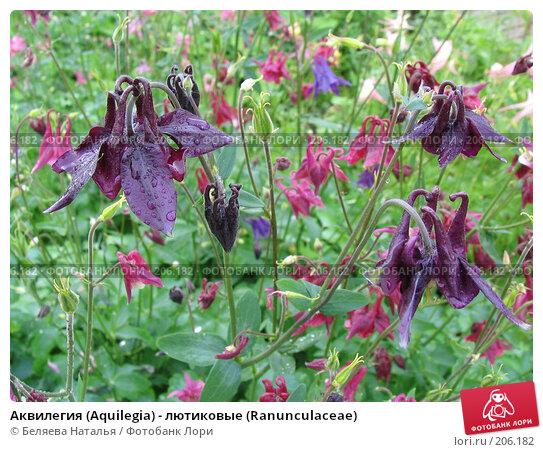 Аквилегия (Aquilegia) - лютиковые (Ranunculaceae), фото № 206182, снято 24 июня 2006 г. (c) Беляева Наталья / Фотобанк Лори