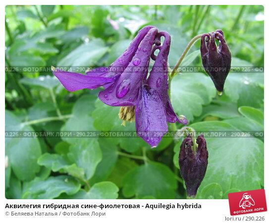 Аквилегия гибридная сине-фиолетовая - Aquilegia hybrida, фото № 290226, снято 24 июня 2006 г. (c) Беляева Наталья / Фотобанк Лори