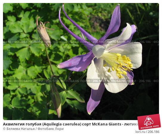 Аквилегия голубая (Aquilegia caerulea) сорт McKana Giants - лютиковые (Ranunculaceae), фото № 206186, снято 22 июня 2006 г. (c) Беляева Наталья / Фотобанк Лори