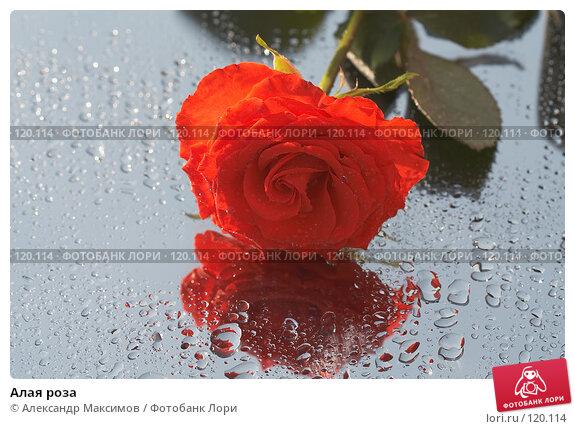 Купить «Алая роза», фото № 120114, снято 29 апреля 2006 г. (c) Александр Максимов / Фотобанк Лори