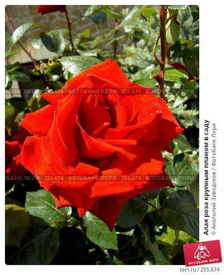 Алая роза крупным планом в саду, фото № 255674, снято 27 мая 2006 г. (c) Анатолий Заводсков / Фотобанк Лори