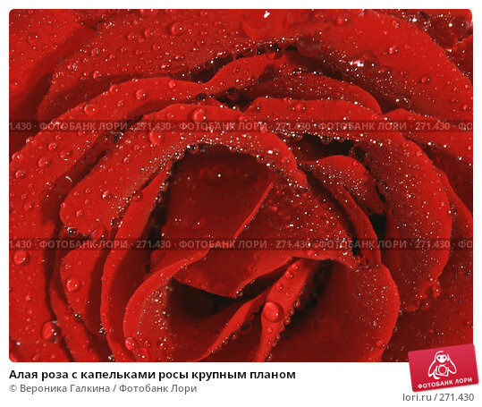Купить «Алая роза с капельками росы крупным планом», фото № 271430, снято 16 декабря 2017 г. (c) Вероника Галкина / Фотобанк Лори