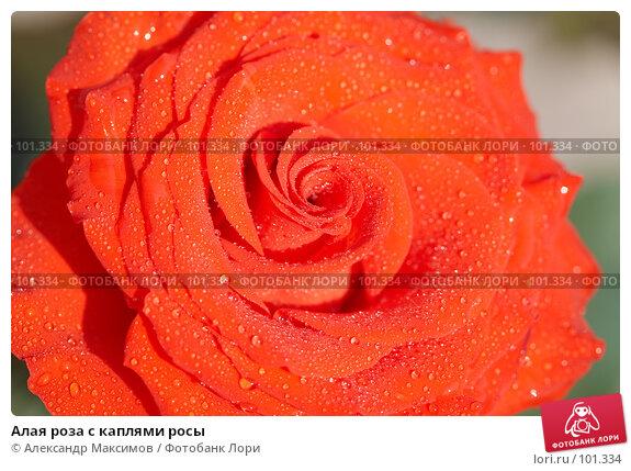 Купить «Алая роза с каплями росы», фото № 101334, снято 29 апреля 2006 г. (c) Александр Максимов / Фотобанк Лори