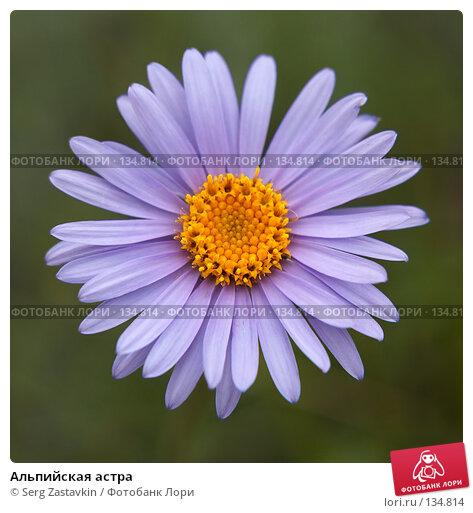 Купить «Альпийская астра», фото № 134814, снято 2 июля 2006 г. (c) Serg Zastavkin / Фотобанк Лори