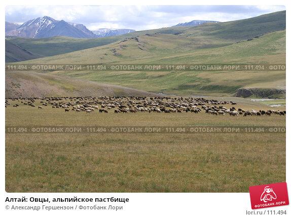 Алтай: Овцы, альпийское пастбище, фото № 111494, снято 26 июля 2006 г. (c) Александр Гершензон / Фотобанк Лори