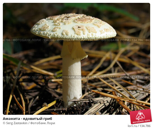 Аманита - ядовитый гриб, фото № 134786, снято 16 сентября 2004 г. (c) Serg Zastavkin / Фотобанк Лори