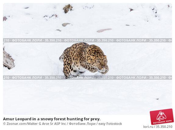 Amur Leopard in a snowy forest hunting for prey. Стоковое фото, фотограф Zoonar.com/Walter G Arce Sr ASP Inc / easy Fotostock / Фотобанк Лори