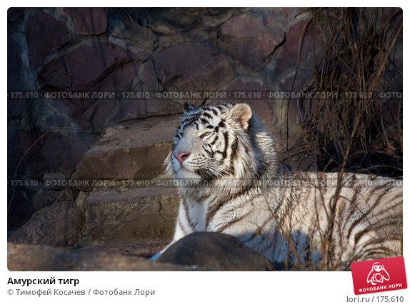 Амурский тигр, фото № 175610, снято 3 января 2008 г. (c) Тимофей Косачев / Фотобанк Лори