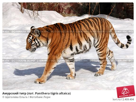 Купить «Амурский тигр (лат. Panthera tigris altaica)», эксклюзивное фото № 2409494, снято 13 марта 2011 г. (c) Щеголева Ольга / Фотобанк Лори