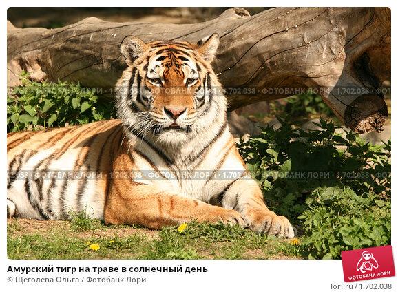 Купить «Амурский тигр на траве в солнечный день», эксклюзивное фото № 1702038, снято 8 мая 2010 г. (c) Щеголева Ольга / Фотобанк Лори