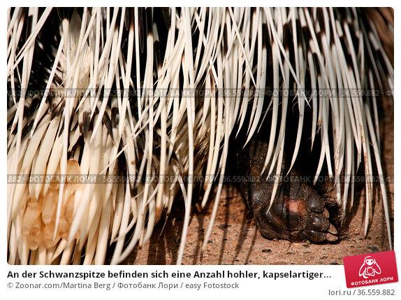 An der Schwanzspitze befinden sich eine Anzahl hohler, kapselartiger... Стоковое фото, фотограф Zoonar.com/Martina Berg / easy Fotostock / Фотобанк Лори