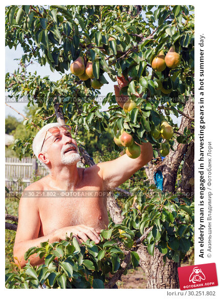 Купить «An elderly man is engaged in harvesting pears in a hot summer day.», фото № 30251802, снято 19 августа 2016 г. (c) Акиньшин Владимир / Фотобанк Лори