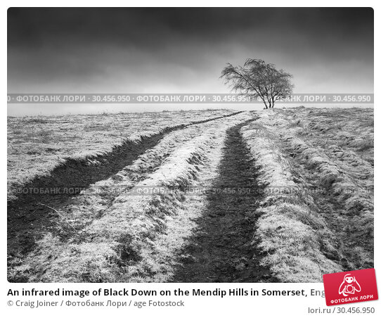 An infrared image of Black Down on the Mendip Hills in Somerset, England. Стоковое фото, фотограф Craig Joiner / age Fotostock / Фотобанк Лори