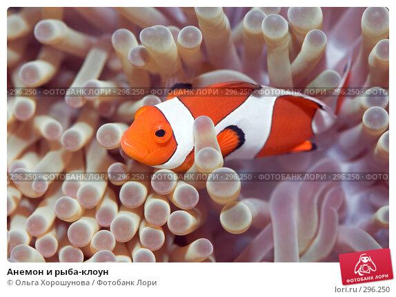 Купить «Анемон и рыба-клоун», фото № 296250, снято 8 мая 2008 г. (c) Ольга Хорошунова / Фотобанк Лори