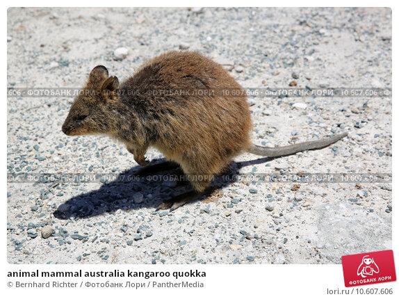 animal mammal australia kangaroo quokka. Стоковое фото, фотограф Bernhard Richter / PantherMedia / Фотобанк Лори