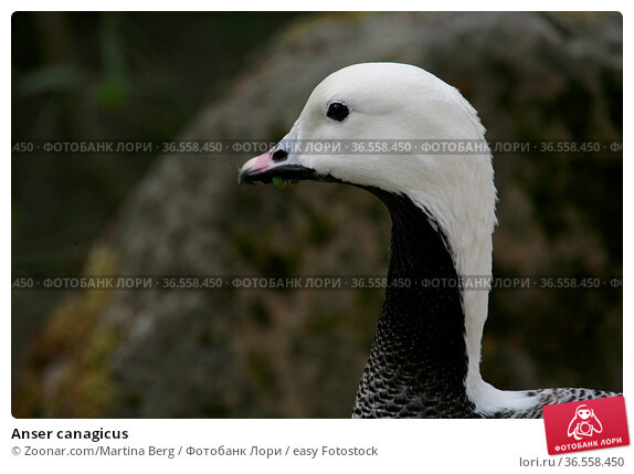 Anser canagicus. Стоковое фото, фотограф Zoonar.com/Martina Berg / easy Fotostock / Фотобанк Лори