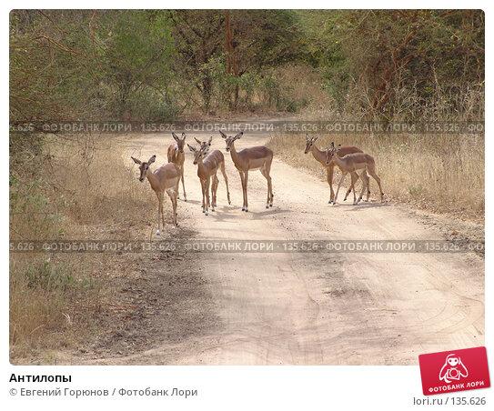 Антилопы, фото № 135626, снято 1 декабря 2007 г. (c) Евгений Горюнов / Фотобанк Лори