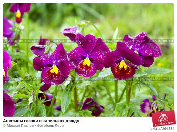 Анютины глазки в капельках дождя, фото № 264534, снято 27 июня 2007 г. (c) Михаил Павлов / Фотобанк Лори