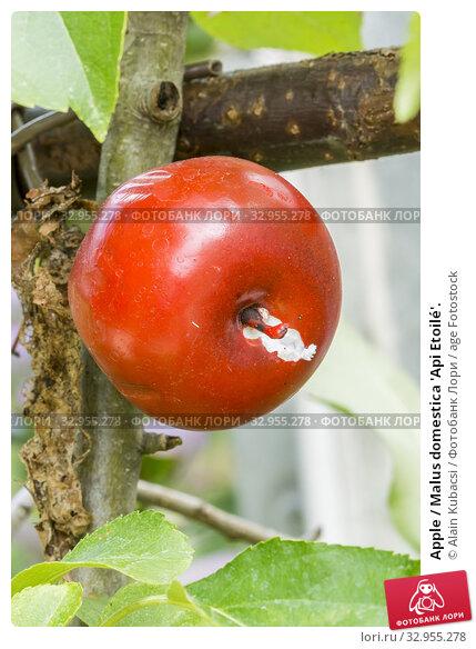 Apple / Malus domestica 'Api Etoilé'. Стоковое фото, фотограф Alain Kubacsi / age Fotostock / Фотобанк Лори