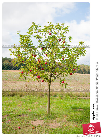 Apple tree. Стоковое фото, фотограф Filip Fuxa / PantherMedia / Фотобанк Лори