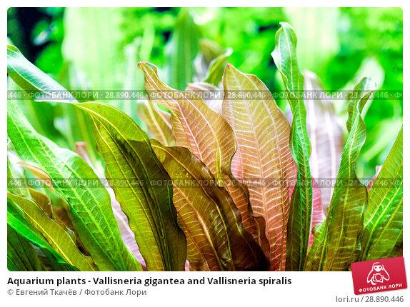 Купить «Aquarium plants - Vallisneria gigantea and Vallisneria spiralis», фото № 28890446, снято 18 апреля 2016 г. (c) Евгений Ткачёв / Фотобанк Лори
