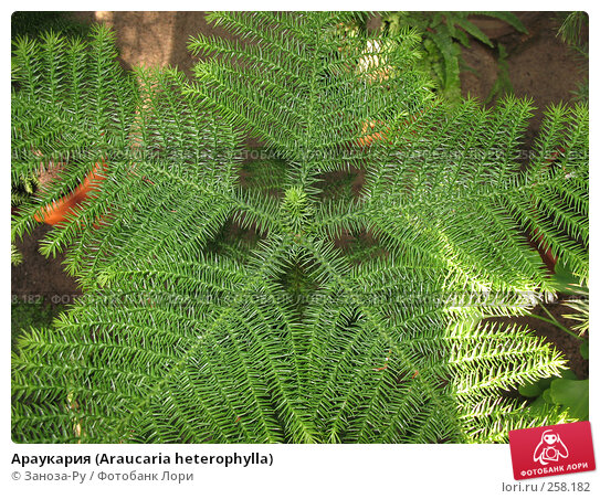 Араукария (Araucaria heterophylla), фото № 258182, снято 12 апреля 2008 г. (c) Заноза-Ру / Фотобанк Лори
