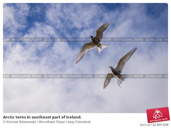 Arctic terns in southeast part of Iceland. Стоковое фото, фотограф Konrad Zelazowski / easy Fotostock / Фотобанк Лори