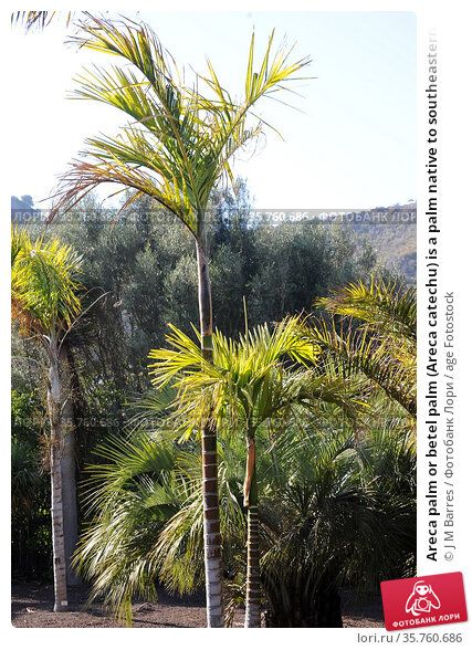Areca palm or betel palm (Areca catechu) is a palm native to southeastern... Стоковое фото, фотограф J M Barres / age Fotostock / Фотобанк Лори