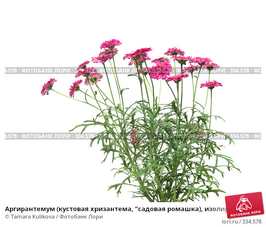 """Аргирантемум (кустовая хризантема, """"садовая ромашка), изолированное изображение, фото № 334578, снято 25 июня 2008 г. (c) Tamara Kulikova / Фотобанк Лори"""