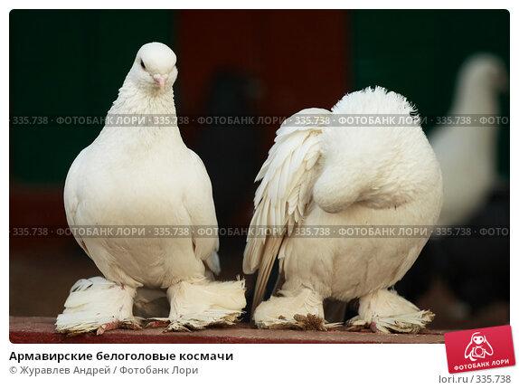 Армавирские белоголовые космачи, эксклюзивное фото № 335738, снято 4 мая 2008 г. (c) Журавлев Андрей / Фотобанк Лори