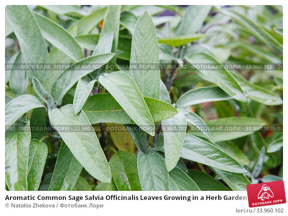 Aromatic Common Sage Salvia Officinalis Leaves Growing in a Herb Garden. Salvia officinalis branch. Стоковое фото, фотограф Nataliia Zhekova / Фотобанк Лори